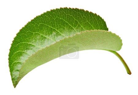 Photo pour Feuilles de poire isolées sur blanc. Feuilles de poire Clipping Path. Studio professionnel - image libre de droit