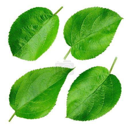 Photo pour Feuille de pomme verte isolée sur blanc. Collection Feuille Clipping Path. Professionnel - image libre de droit