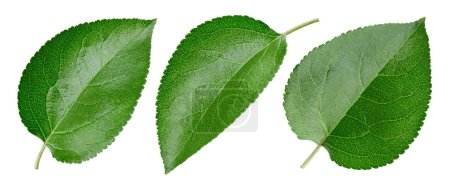 Photo for Green apple leaf isolated on white. Collection leaf Clipping Path. Professional - Royalty Free Image