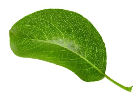 Photo for Pear leaves isolated on white. Pear leaves Clipping Path. Professional studio - Royalty Free Image