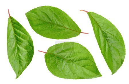 Photo for Plum leaves isolated on white. Plum leaves Clipping Path. Collection leaves - Royalty Free Image
