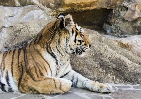 cats wild cats tiger Jaguar