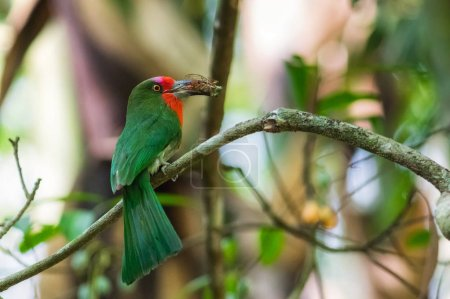 Beautiful Red bearded bee eater (Nyctyornis amictus), bird with insect prey in its mouth for feeding.