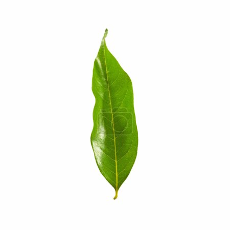 Green Color leaves isolated on white background with clipping path.