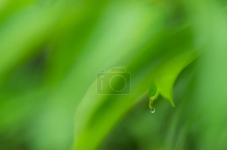 Photo for Blur and soft focus of water drop on leaf with green color background. - Royalty Free Image