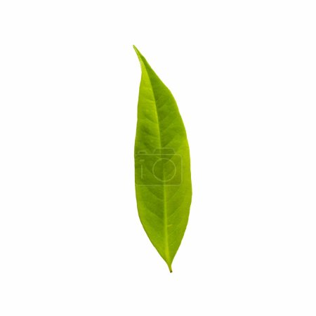 Green Color leaves isolated on white background with clipping path, Leaves of Longan.