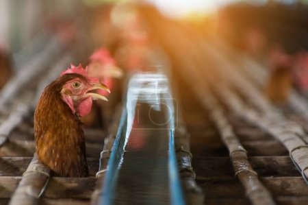 Hens at closed cages in farm, chicken industry, Soft focus, High ISO.