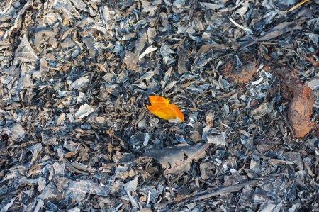 Les cendres des feuilles sont brûlées après les incendies de forêt, arbre brûlant une traînée de poudre dans la forêt du Nord, Thaïlande. pollution