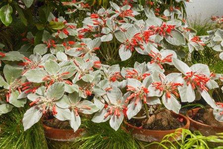 Photo pour Edelweiss brésilien, sinningia leucotricha ou rechsteineria leucotricha, de la famille des gesneriaceae . - image libre de droit