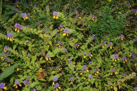 Photo pour Gros plan sur les fleurs sauvages de la forêt violette et jaune Ivan-da-Marya sur une tige rouge - Melampyrum Nemorosum - sur une prairie sous la lumière du soleil. - image libre de droit