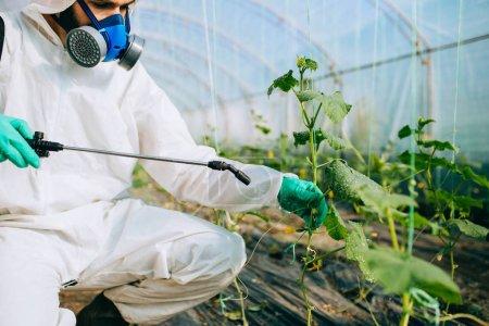 Photo for Young worker spraying organic pesticides on cucumber plants in a greenhouse. - Royalty Free Image