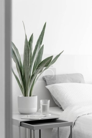 Photo for Modern houseplants in the white bedroom, minimal creative home decor concept, Sansevieria Metallica Siam Silver or snake plant - Royalty Free Image