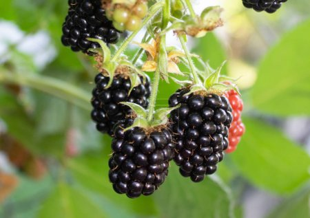 The blackberry is natura