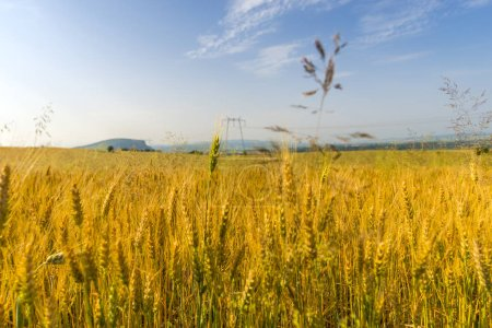 Photo for Golden wheat field with sky - Royalty Free Image
