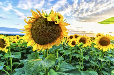 Photo for Sunflowers at the sunset in the summer - Royalty Free Image