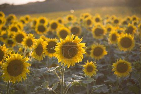 Photo pour Champ de suflowers en été - image libre de droit