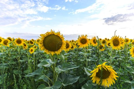 Photo for Suflowers field in the summer - Royalty Free Image