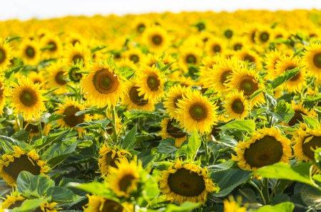 Suflowers field in the summer