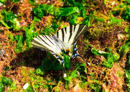Photo for Striped butterfly sitting on seaweeds - Royalty Free Image