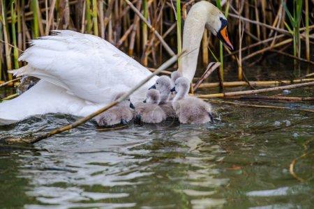 Photo pour Famille des cygnes flottant dans la rivière - image libre de droit