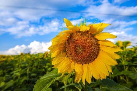 Photo pour Vue rapprochée des tournesols sur le champ d'été - image libre de droit