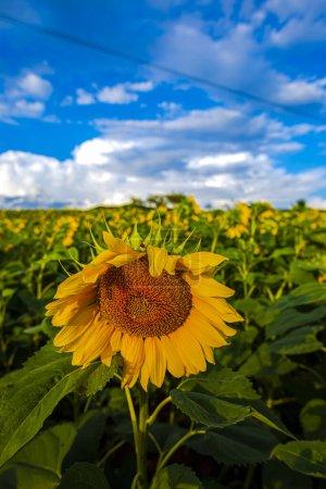 Photo pour Champ de tournesols à fleurs jaune vif - image libre de droit