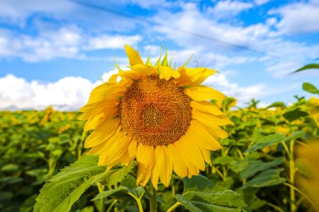 Photo for Field of bright yellow blooming sunflowers - Royalty Free Image