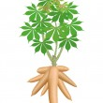 Cassava tree plant, cassava rhizomes isolated on w...