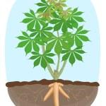 Cassava tree plant, tapioca underground root, cass...