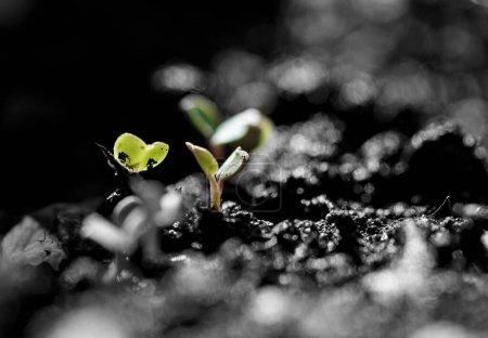 Photo pour Gros plan sur les semis verts. Salade verte à base de graines  . - image libre de droit
