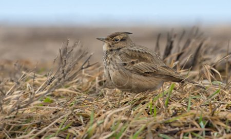 Crested Lark on the ground amidst yellow old herbs...