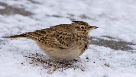 Photo pour Arche à crête posant sur un sol enneigé en hiver - image libre de droit