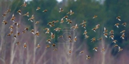Photo pour Un grand nombre de petits oiseaux tels que les filets de lin communs en vol synchronisé au-dessus des arbres d'hiver et de la forêt - image libre de droit