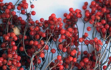 Photo for Viburnum autumn berries background, winter fruit. Farming - Royalty Free Image