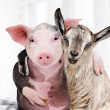 Portrait of a goat and a pig embracing each other...