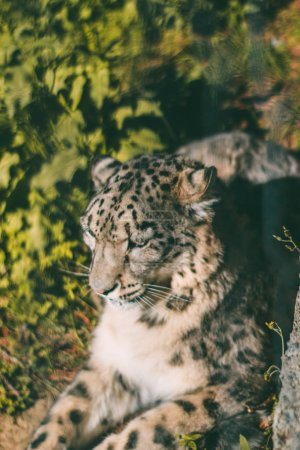 Photo pour Gros plan de léopard à la nature sauvage - image libre de droit