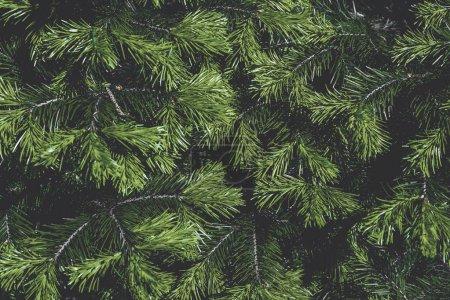 Photo pour Branches d'arbre vert sapin - image libre de droit