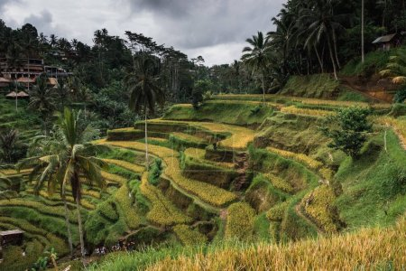 Ubud, Bali: Scenic view of beautifully green rice fields surrounded by palm trees in cloudy day