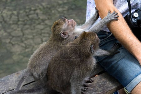 monkeys playing with tourist in monkey forest of Ubud, Bali, Indonesia