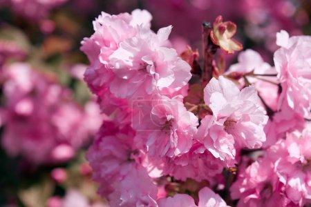 Photo pour Fleurs Sakura, beau paysage lumineux, saison de printemps - image libre de droit