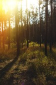 Evening with sunset in a pine forest.