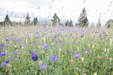 Flieder und lila Blüten im grünen Feld im Sommer