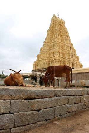 The cows around Virupaksha Temple (still in use) of Hampi. Taken in India, August 2018.