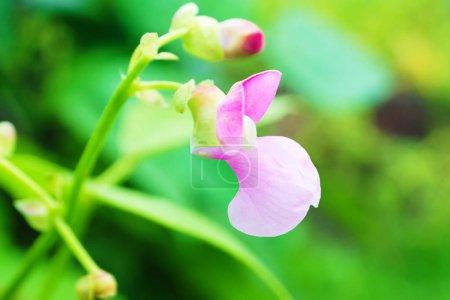 Flor de frijol común rosado (Phaseolus) en un arbusto en el jardín. Agr.