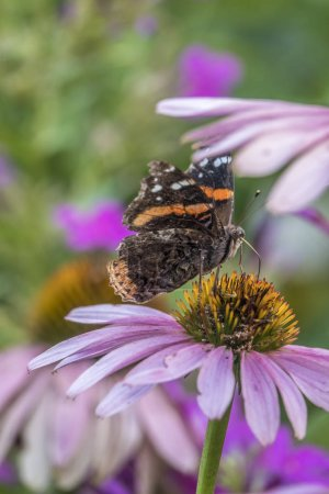 Photo pour Vanessa atalanta, l'amiral rouge ou auparavant, le rouge admirable, papillon de taille moyenne avec des ailes noires, des bandes orange et des taches blanches . - image libre de droit