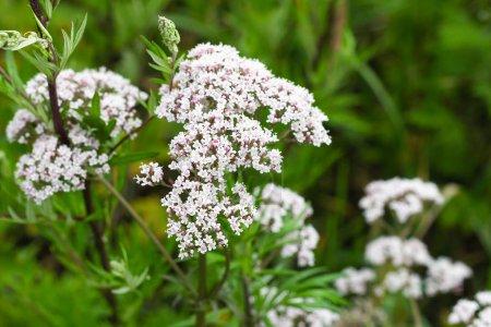 Photo pour Blanc fleur sauvage nature été environnement - image libre de droit