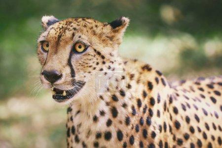 Foto de Retrato de Cheetah en Nairobi, Kenia, África . - Imagen libre de derechos
