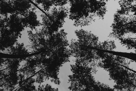 Photo pour Bottom view of the pine trees against the clear sky, black and white - image libre de droit