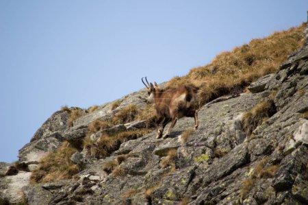 Photo pour Vue panoramique sur les rochers d'escalade de chèvre de montagne - image libre de droit