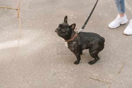 cropped view of woman standing with black french bulldog